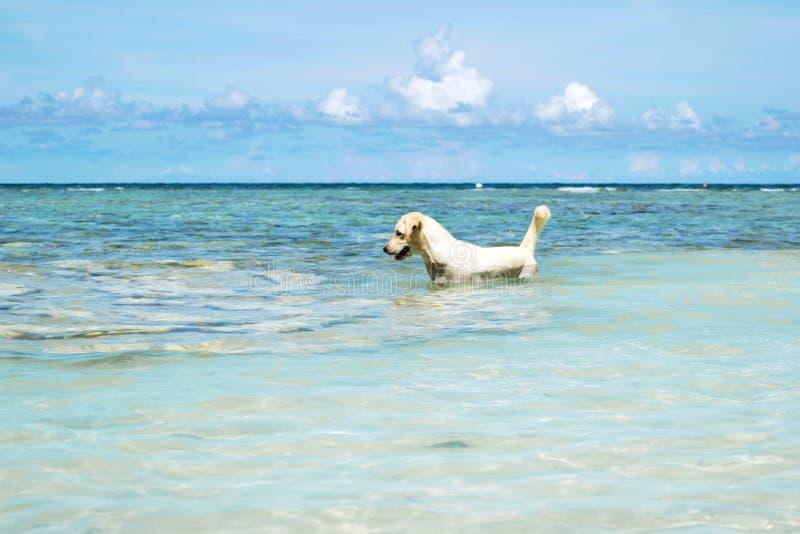 Il cane di labrador retriever in mare blu con chiaro cielo blu all'isola di Koh Chang in Tailandia fotografie stock