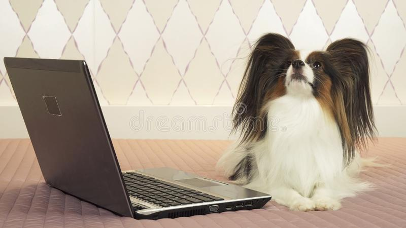 Il cane di Papillon sta trovandosi vicino al computer portatile sul letto fotografie stock libere da diritti