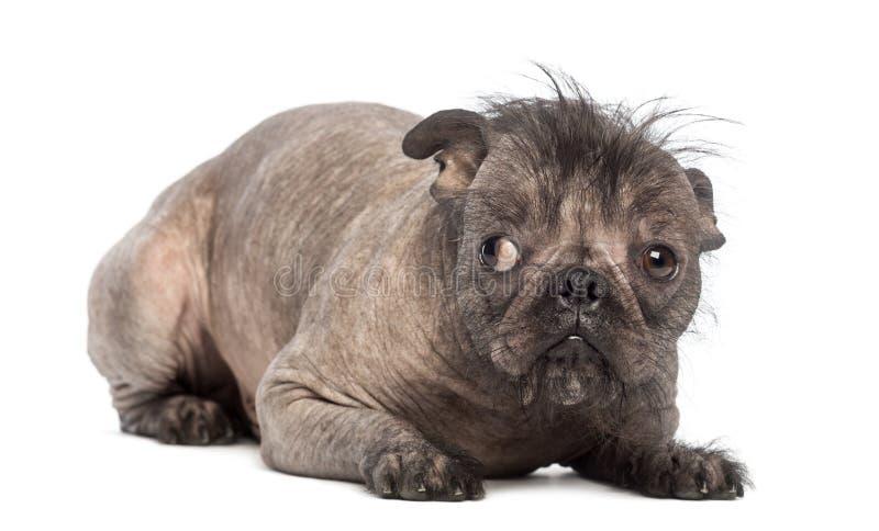 Il cane di razza mista glabro, miscela fra un bulldog francese e un cane crestato cinese, trovandosi e sembra colpevole immagini stock