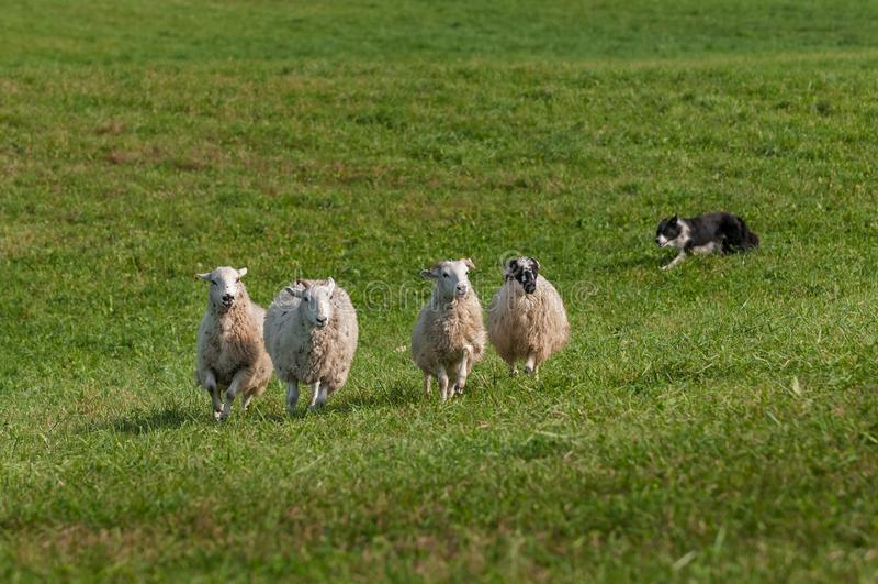 Il cane di riserva funziona a sinistra dietro il gruppo di ovis aries delle pecore fotografia stock