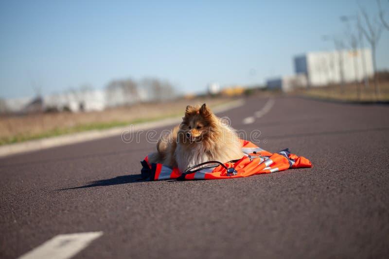 Il cane di salvataggio sta trovandosi su un rivestimento rosso dell'erba medica immagini stock libere da diritti