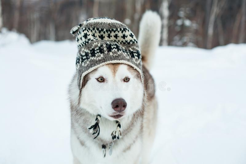 Il cane divertente del husky è in cappello della lana Il ritratto del primo piano del husky siberiano della razza adorabile del c fotografia stock libera da diritti