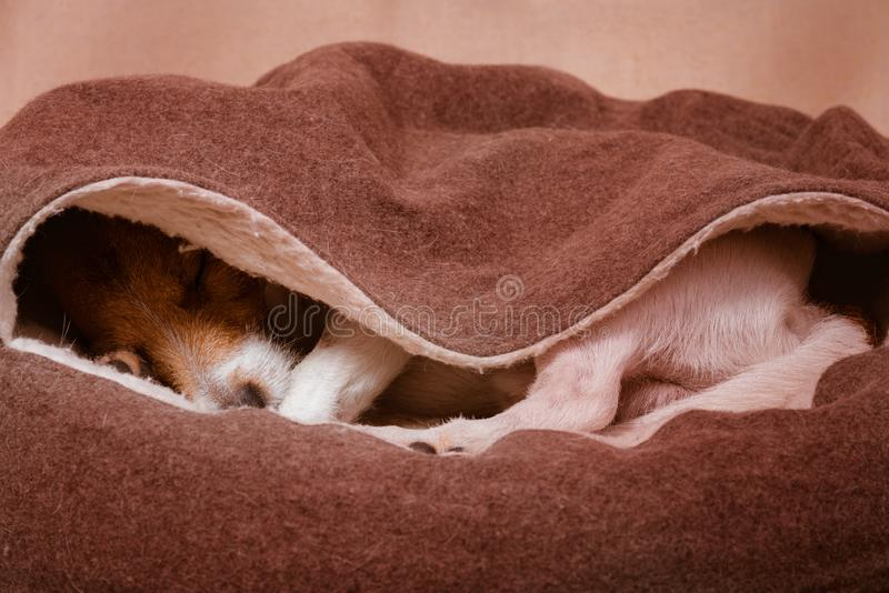 Il cane domestico sveglio dorme dentro il letto incappucciato accogliente dell'animale domestico immagini stock libere da diritti
