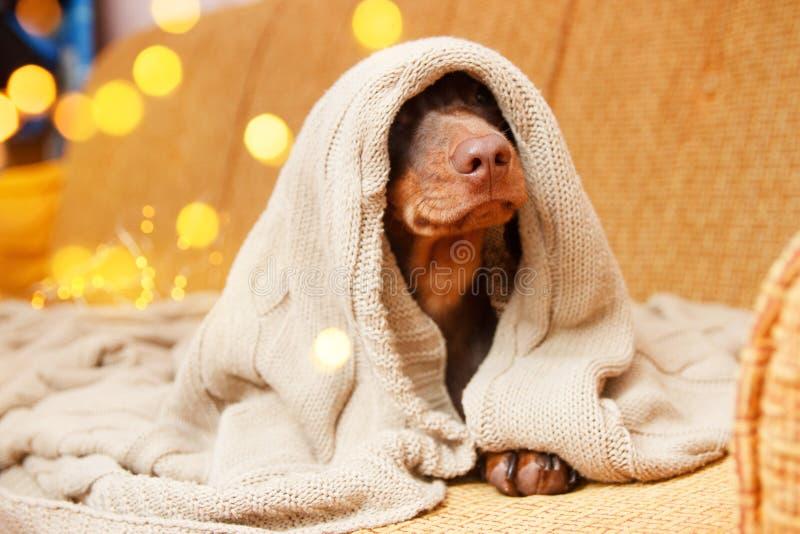 Il cane dorme sotto la coperta vicino alla luce di Natale Chiudi Concetto per l'inverno fotografia stock