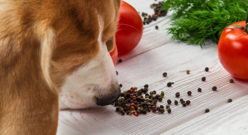 Il cane fiuta il pepe immagini stock