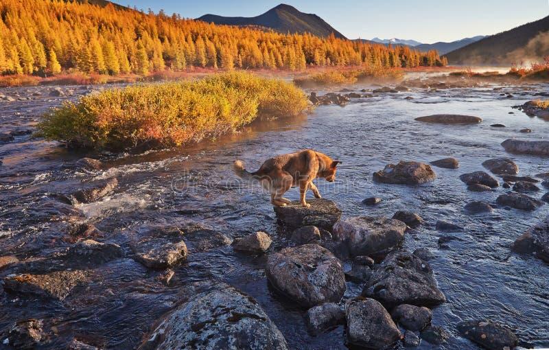 Il cane forza il fiume della montagna Mattina in anticipo di autunno Kolyma IMG_4669 immagini stock