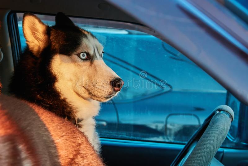 Il cane guarda fuori l'automobile Il husky siberiano si siede in automobile e guarda Sole luminoso di inverno della luce di tramo immagine stock