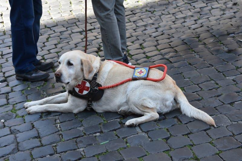 Il cane guida aspetta pazientemente con il suo uomo handicappato immagini stock libere da diritti