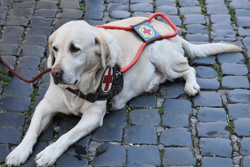 Il cane guida aspetta pazientemente con il suo uomo handicappato fotografia stock libera da diritti