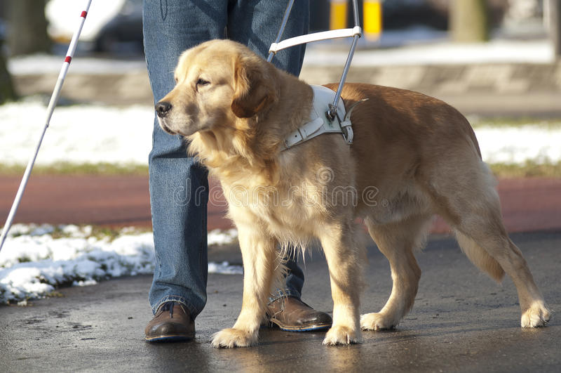 Il cane guida sta aiutando un uomo cieco fotografia stock libera da diritti
