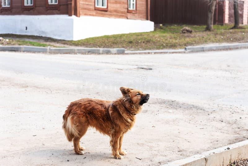 Il cane ibrido della via rossa sta sulla via, vista laterale Il cane scorteccia Nuovo proprietario aspettante del cane ibrido sen immagini stock libere da diritti
