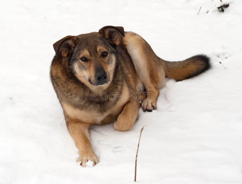 Il cane ibrido di Brown si trova in neve immagine stock