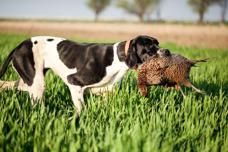 Il cane inglese del puntatore con prega immagine stock libera da diritti