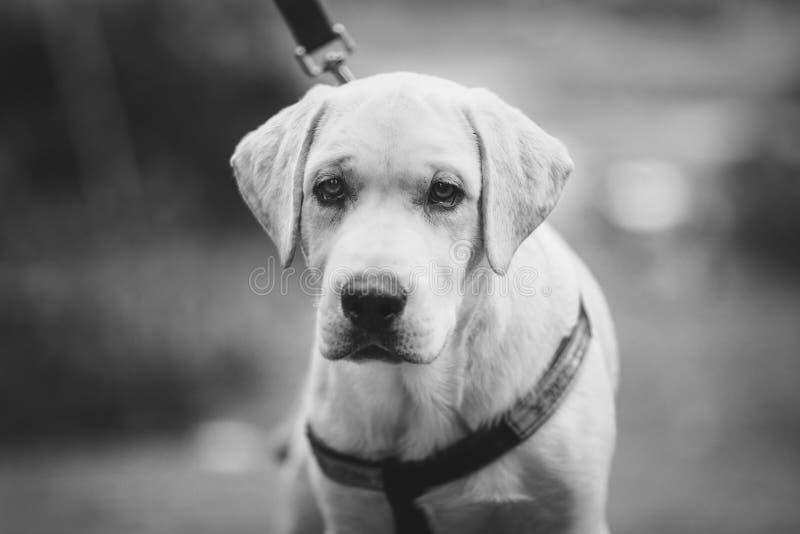 Il cane labrador retriever quattro mesi nell'all'aperto fotografia stock