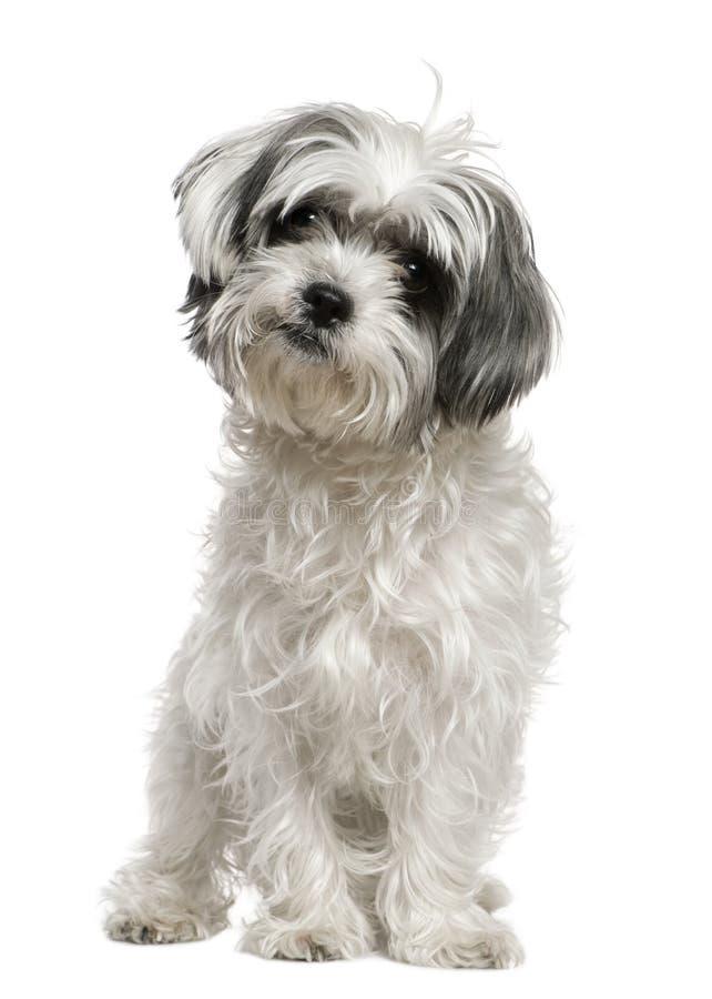 Il cane maltese si è mescolato con uno Shih Tzu, 3 anni immagini stock