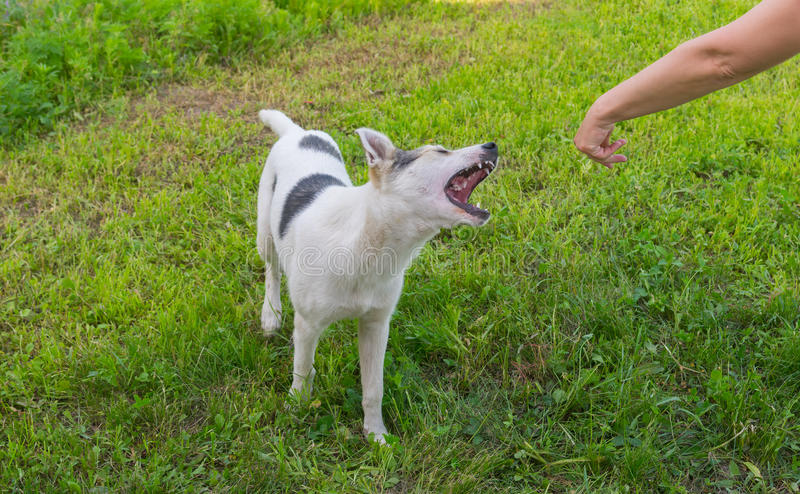 Il cane misto della razza sta provando a mordere la mano umana fotografia stock libera da diritti