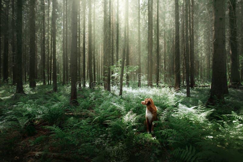 Download Il Cane Nella Foresta Si Siede In Una Felce Animale Domestico Sulla Natura Toller Immagine Stock - Immagine di tedesco, nebbia: 117977953