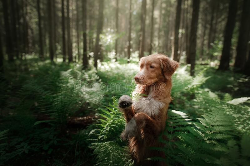 Download Il Cane Nella Foresta Si Siede In Una Felce Animale Domestico Sulla Natura Toller Fotografia Stock - Immagine di foresta, background: 117977986