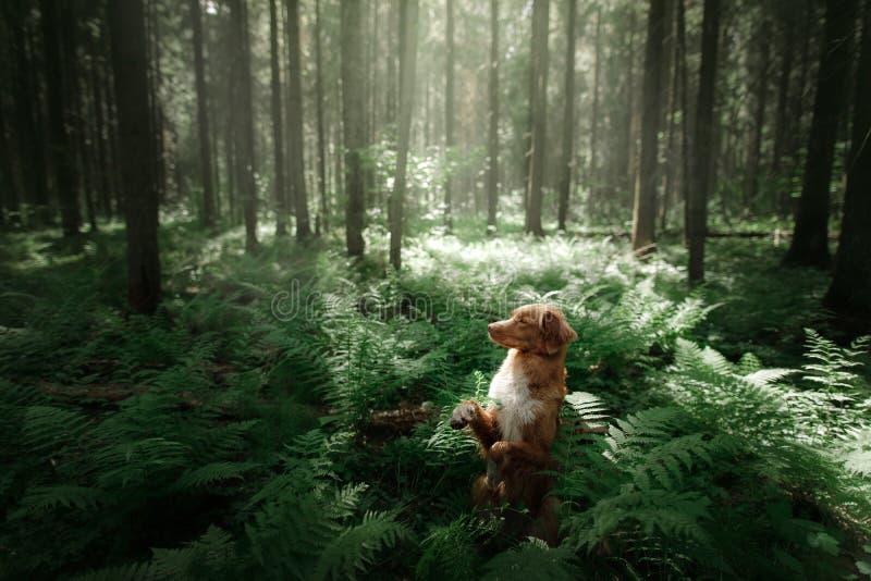 Download Il Cane Nella Foresta Si Siede In Una Felce Animale Domestico Sulla Natura Toller Fotografia Stock - Immagine di stretta, divertimento: 117977988