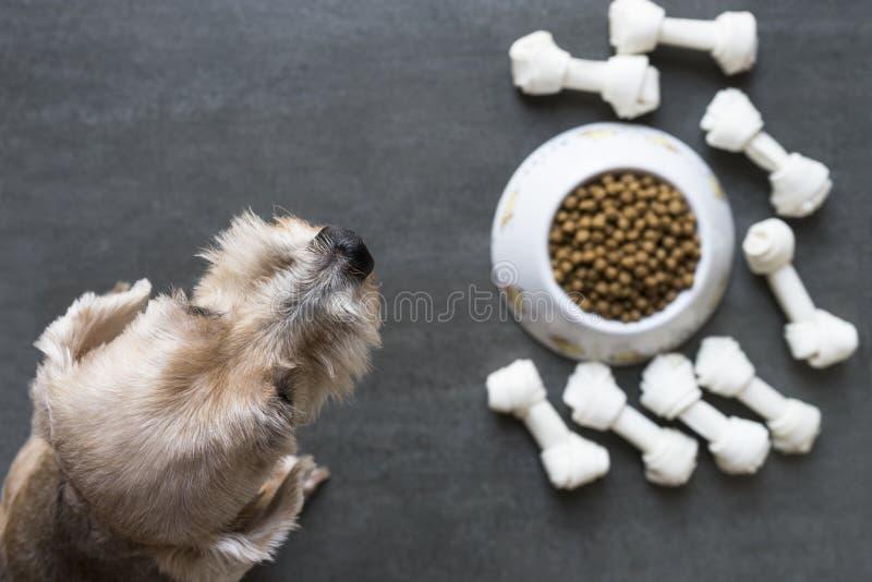 Il cane oltre ad una ciotola di macina grosso l'alimento fotografie stock libere da diritti