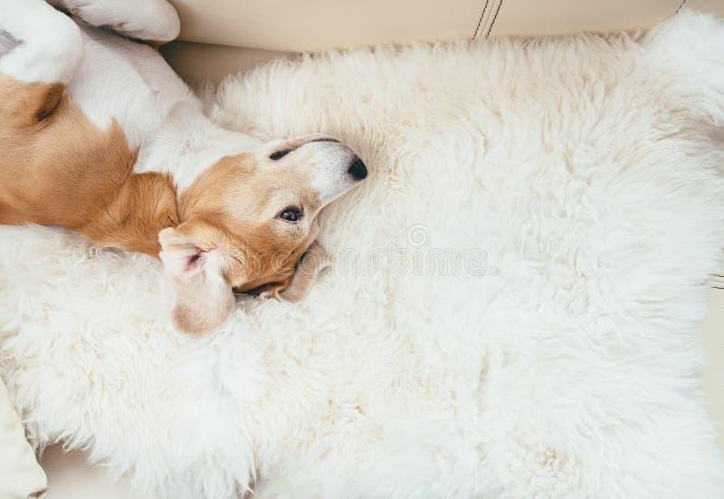 Il cane pigro del cane da lepre si trova sul sofà immagini stock libere da diritti