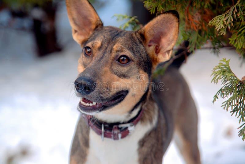 Il cane randagio precedente adottato dell'ibrido grazioso sta da solo ai precedenti della neve, con il collare di cuoio marrone,  fotografia stock