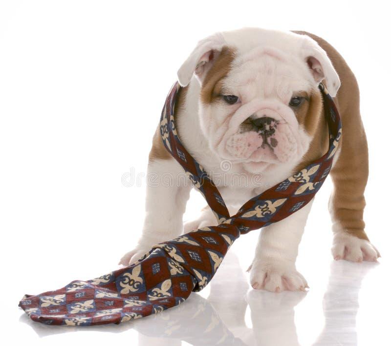 Il cane si è vestito nel legame dell'uomo fotografie stock