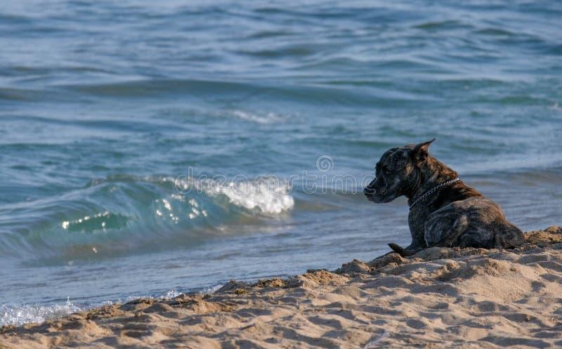 Il cane si trova sulla sabbia vicino al mare ad ora legale fotografia stock libera da diritti