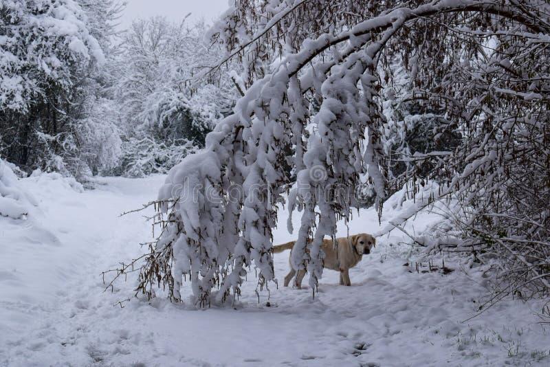 Il cane in Snowy Forest Trail durante il Natale condisce/inverno immagini stock