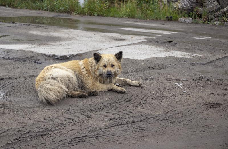 Il cane sporco abbandonato si trova nel fango fotografia stock