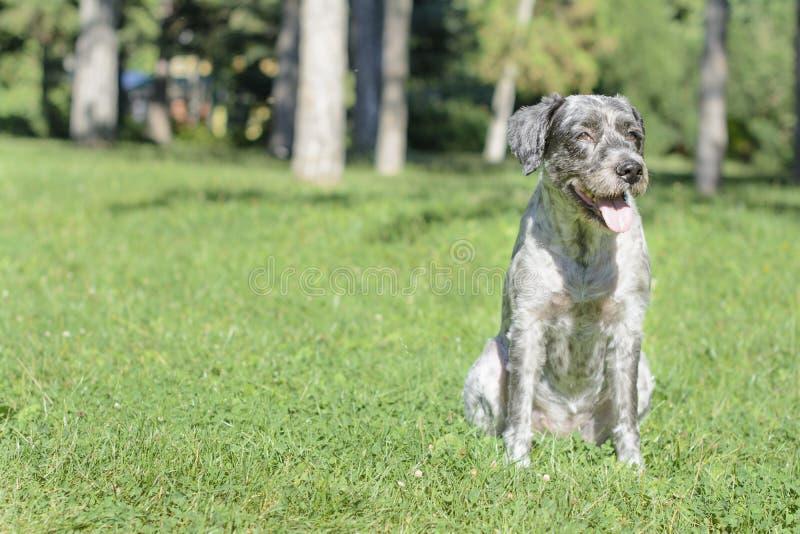 Il cane sta ansimando un giorno soleggiato caldo Fuoco selettivo fotografia stock
