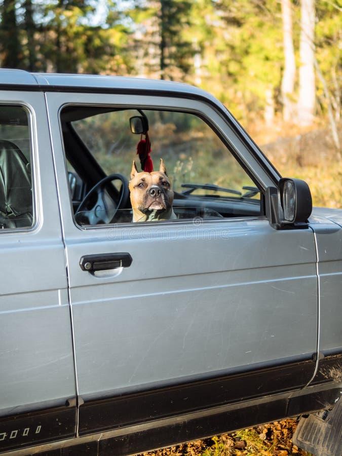 Il cane sta guardando dall'automobile Aspettando il suo rilascio fotografie stock libere da diritti