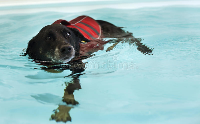 Il cane sta nuotando nella piscina immagini stock