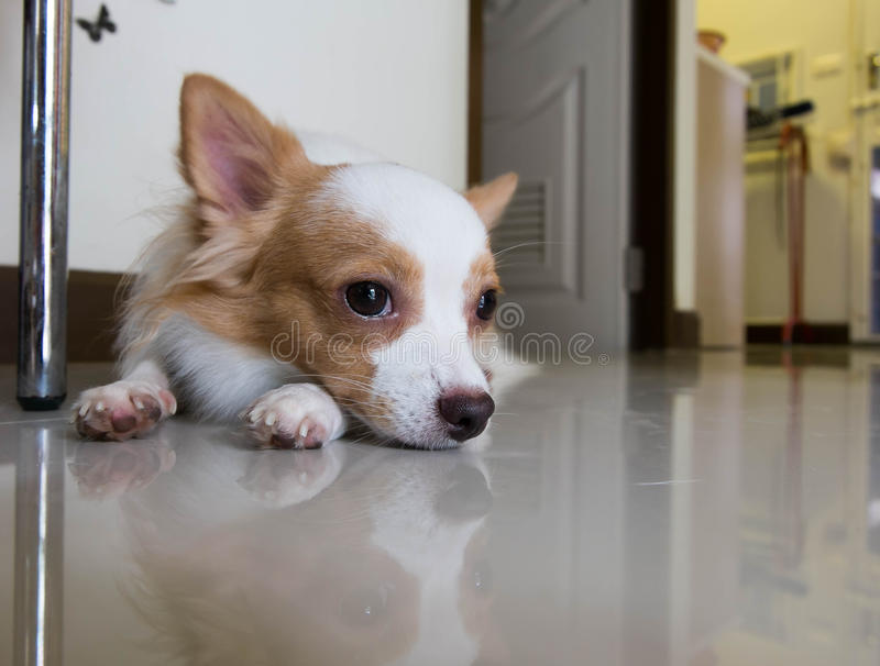 Il cane sta trovandosi sul pavimento immagine stock libera da diritti