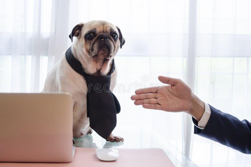 Il cane sveglio del carlino di affari con la cravatta trascura alla stretta di mano con il giovane uomo bello di affari Emozioni  fotografia stock