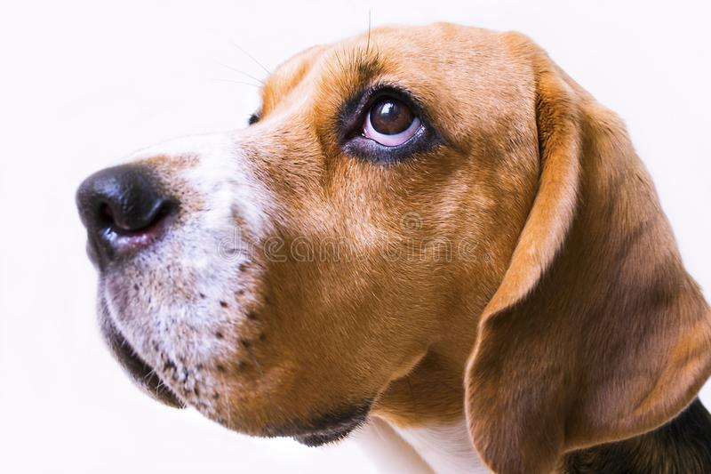 Il cane sveglio del cane da lepre si trova sul pavimento fotografie stock