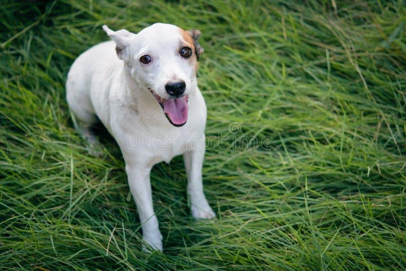 Il cane sveglio del jackrusell bianco si siede nel verde di erba immagini stock libere da diritti
