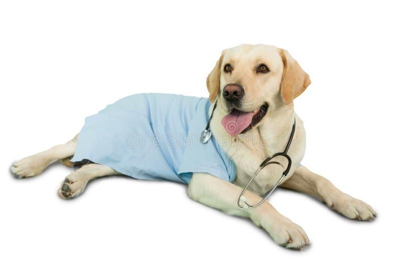 Il cane sveglio di labrador che si trova sull'uso del pavimento sfrega e stetoscopio immagine stock libera da diritti