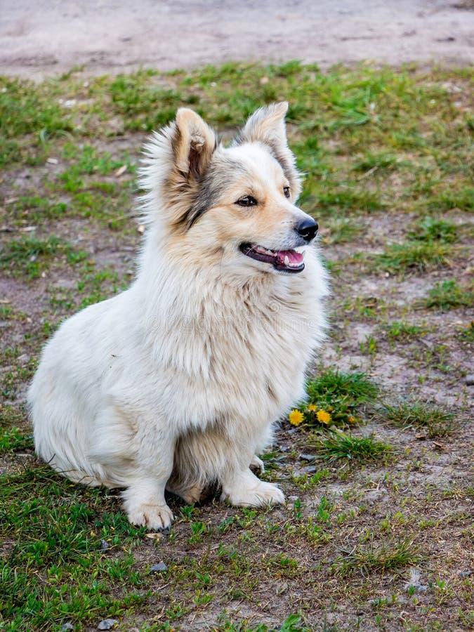 Il cane sveglio lanuginoso bianco si siede su erba in parco mentre stroll_ fotografia stock