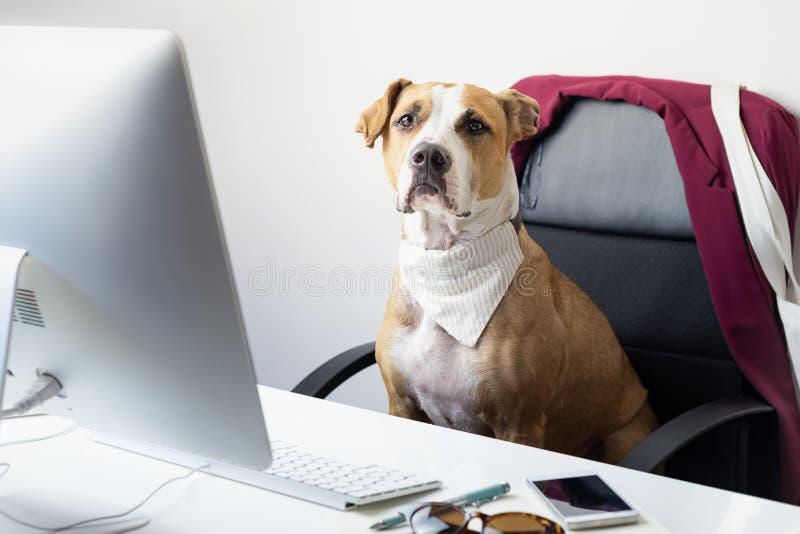 Il cane sveglio si siede nella sedia dell'ufficio ad un posto di lavoro moderno T andante fotografia stock libera da diritti