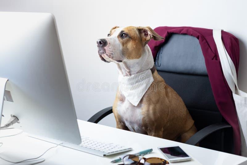 Il cane sveglio si siede nella sedia dell'ufficio ad un posto di lavoro moderno T andante immagini stock libere da diritti
