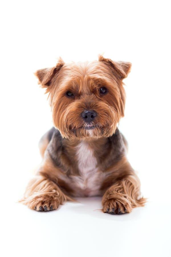 Il cane sveglio si trova su fondo bianco Yorkshire terrier fotografie stock libere da diritti