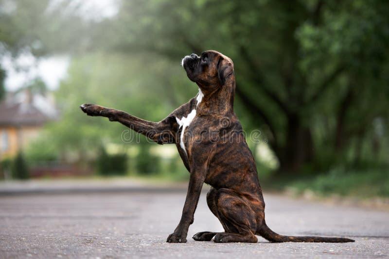 Il cane tedesco del pugile dà la zampa fotografia stock libera da diritti