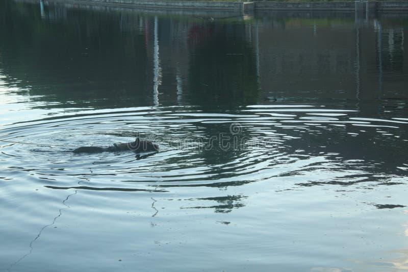 Il cane va per una immersione uguagliante immagini stock libere da diritti