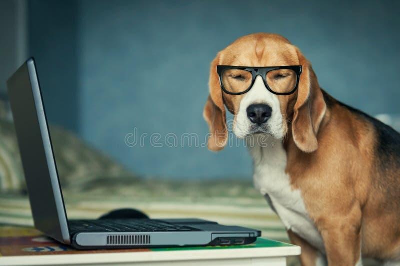 il cane in vetri divertenti si avvicina al computer portatile fotografie stock libere da diritti