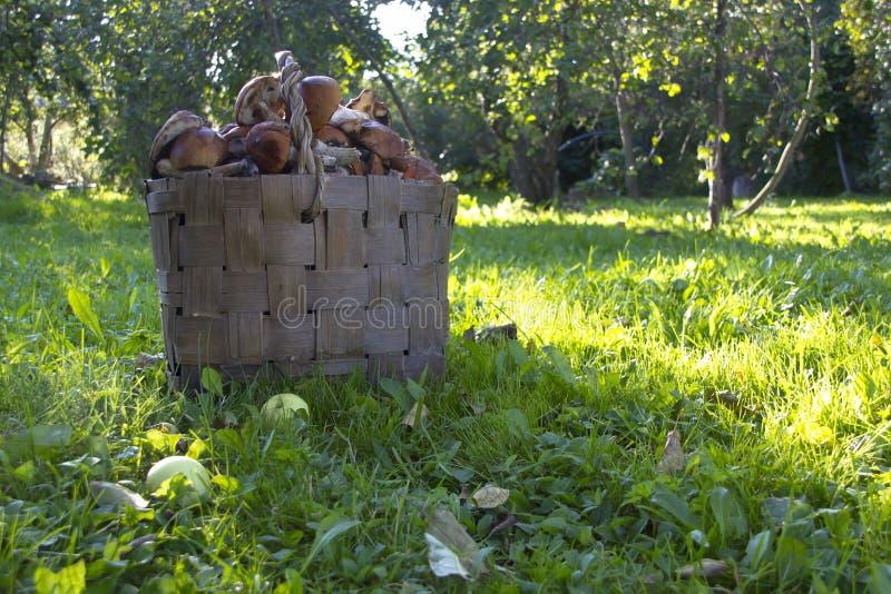 Il canestro dei funghi fotografia stock
