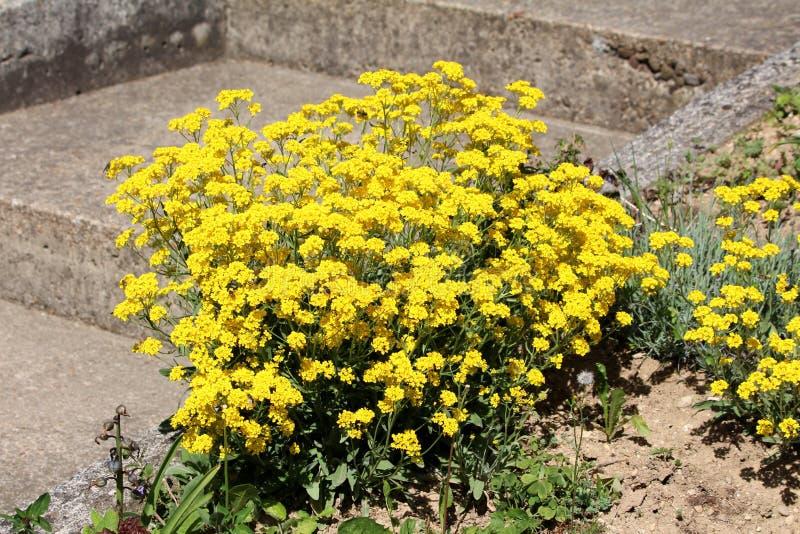 Il canestro di oro o i saxatilis di Aurinia ha arrotondato la pianta di fioritura perenne sempreverde che cresce nella forma di p immagini stock libere da diritti