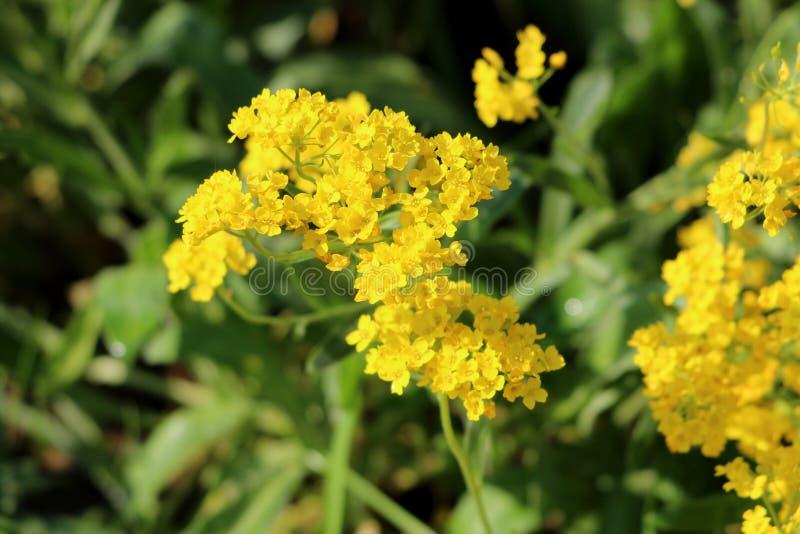 Il canestro di oro o i saxatilis di Aurinia poco ha arrotondato la pianta di fioritura perenne sempreverde circondata con le fogl fotografia stock libera da diritti