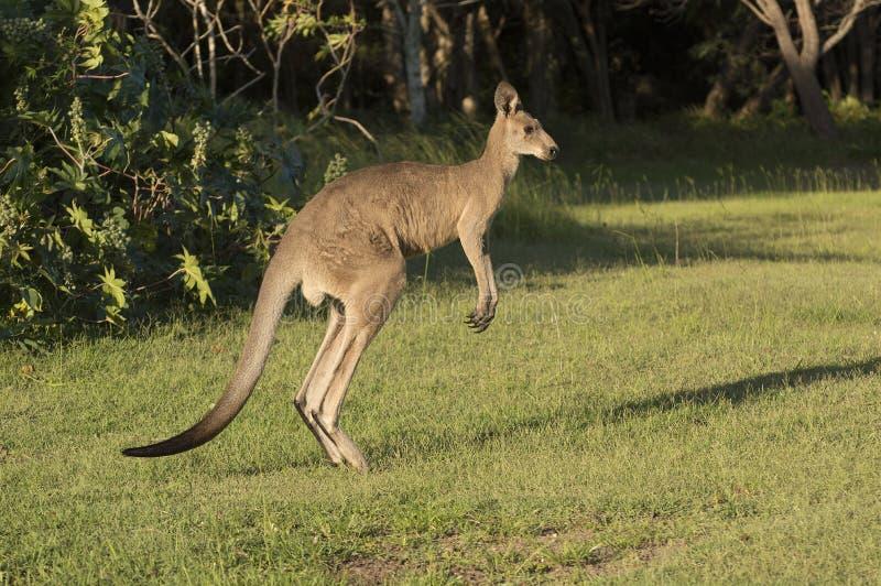 Il canguro salta attraverso un campo verde fotografie stock libere da diritti