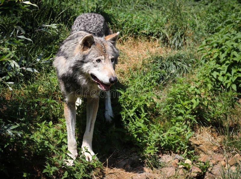 Il canis lupus del lupo, anche conosciuto come lupo, il lupo comune, o il lupo grigio/grigio della tundra immagini stock